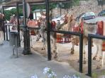 Take a ride on the Fashionable Donkeys in Mijas