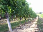 A trip round a vineyard - Ripening grapes in Saint Georges des Agout