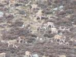 A herd of local Red Deer