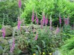 Foxgloves in the garden