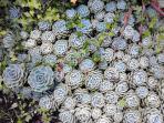 Garden. Succulent species family.