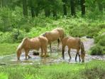 Ponies roam the forest freely