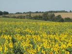 sunflowers are all around