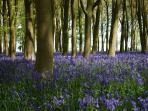 Bluebells in Badbury woods