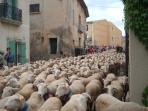 Summer Sheep Migration through Montpeyroux