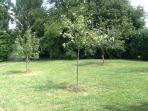 Apple trees in garden