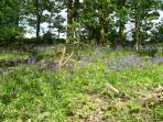 Bluebells in Souters woodland