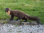 Pinemarten in garden