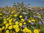 Spring flowers along the coastal walk by the archaeolgogical park