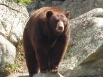 A bear in nearby Grandfather Mountain