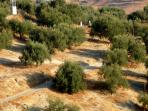 Surrounding Olive Groves