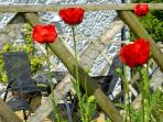 May in the garden with poppy plants in the cottage gardens