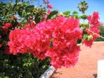 Beautiful pink bougainvillea