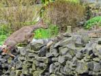 Roe deer jumping out of  garden