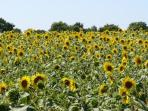 Fields of sunflowers during the summer