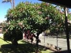 Here's the actual tree!  This picture was taken from the lanai. The tree is fragrant and beautiful!