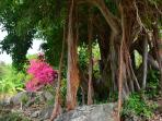 Beautiful Banyan tree with aerial roots on estate