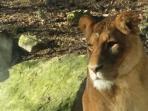 Lionne zoo de Beauval - 20 mn des gîtes du Conon