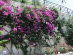The Bougainvillea in the garden blooms from June to October