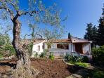 Garden view with secular Olive trees