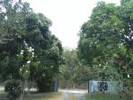 View when you are leaving.  2 trees on each side are diff mango's. One on left has largest mango's.