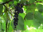 Grapes from grapevine
