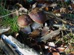 cèpes de l'Aigoual