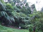 Primary forest - Tree ferns