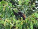 Howler monkey visiting us