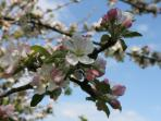 Apple Blossom on Our Apple Trees
