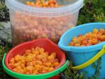 Collecting cloudberries