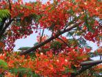 Flamboyant en fleur à partir de Mai jusqu'en Septembre