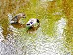 The ducks on the Takase river.