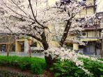 Sakura view from the balcony.