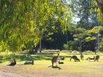 Resident kangaroos on our property.