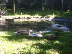 Some of our ducks taking it easy after supplying eggs to our guests...