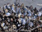 Pick your own mussels from the rocks at low tide