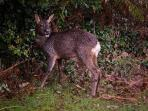 Deer come close to the house. This very wet one hopped over the fence into the garden