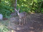 A property visitor -- they love to eat my flowers in the summer.