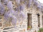 Wisteria in bloom outside Noisette