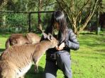 Feed kangaroos at Healesville Sanctuary