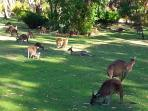 8 minutes from home in the late afternoon you can walk among the kangaroos.