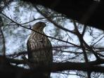 Hawk in mesquite tree in back yard