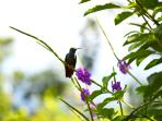 Humming Bird taking a break in our gardens.