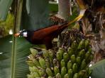 Montezuma's Oropendula feeding on one of our banana trees.