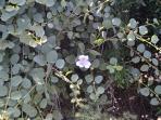 Capperi (Trekking Nature La Flora)