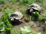 George & Tommy (20 yrs. old African Sulcata Tortoises) They don't hibernate