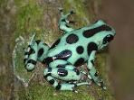 One of our poison dart frogs