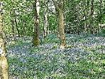 Bluebells in the woods near to Rock Cottage in the Arnside-Silverdale AONB at springtime