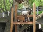Climbing Goats on Opposite Corner of the B&B